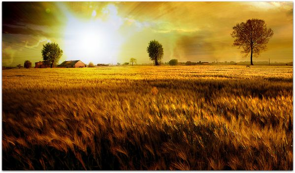 Fields_Of_Gold_by_phil2001.jpg