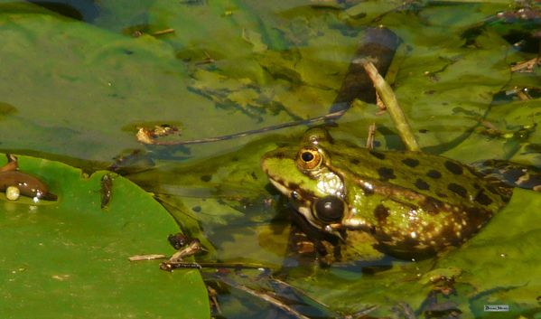 2012-05 grenouille chanteuse (3)