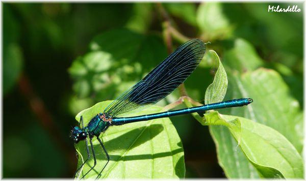 calopteryx-eclatant-male-DEMOISELLE-BLEUE.JPG