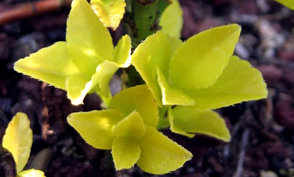 Euonymus Japonicus 2142