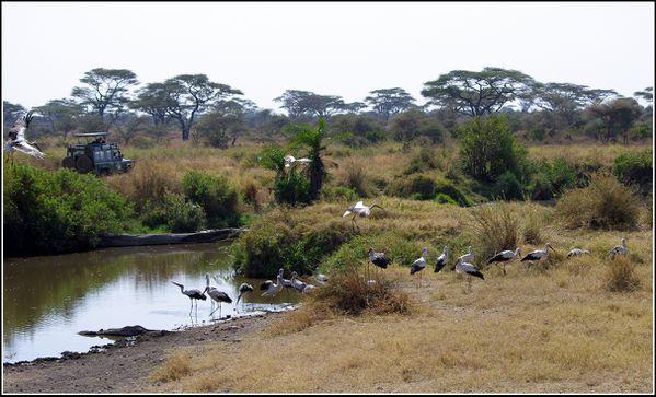 cigognes du serengeti