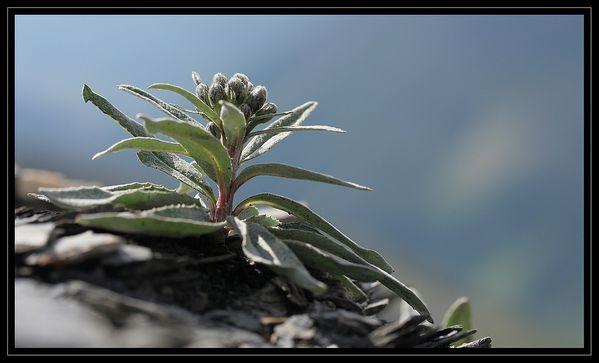 Saussurea alpina ssp depressa