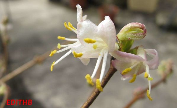 CHEVREFEUILLE LONICERA FRAGRANTISSIMA (1)