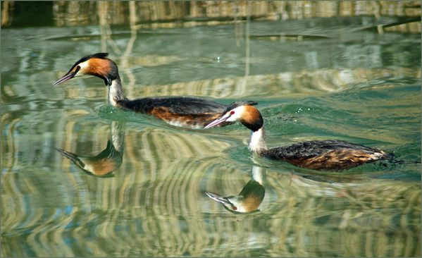 grebes-2-copie-1.jpg