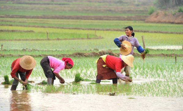 fermiers-dans-une-riziere_1239185032.jpg