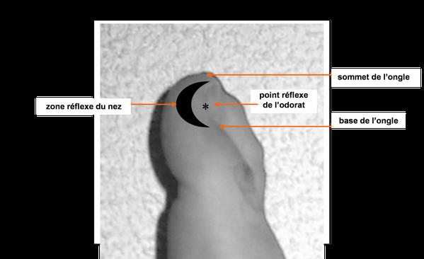 Zone-reflexe-du-nez---Point-reflexe-de-l-olfactif.png