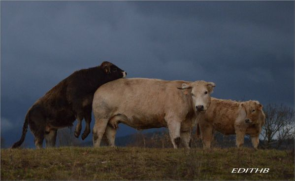 vaches (40)