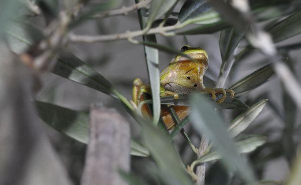 rainette-olivier.jpg