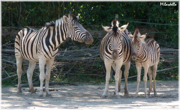 petit-zebre-de-chapman--zebreau--avec-ses-parents-3.JPG