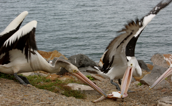 animaux-pelicans-poissons-1.png