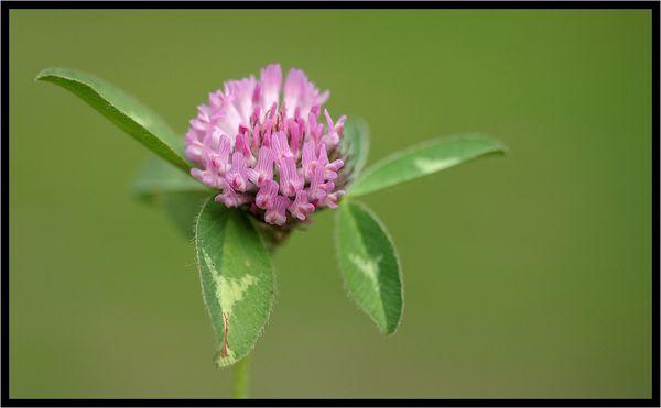 Trifolium-pratense-830.jpg