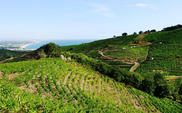 vendanges Banyuls 6 cmp