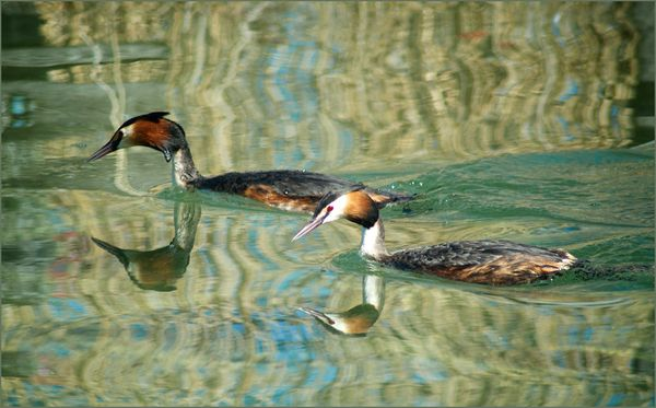 grebes-1-copie-1.jpg