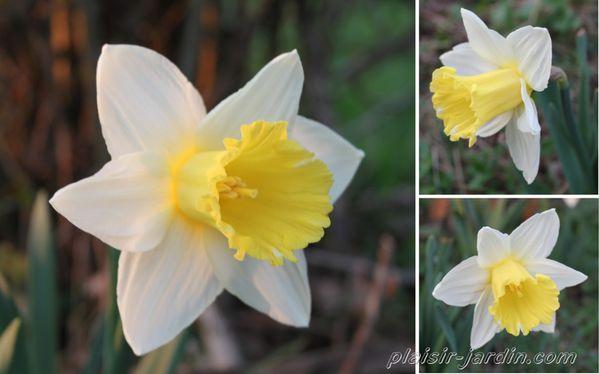 Narcissus-Finland.jpg