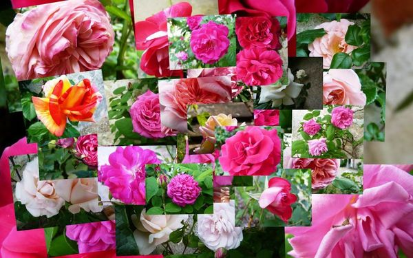11-05-Coudraie-Patchwork-Roses-small.jpg