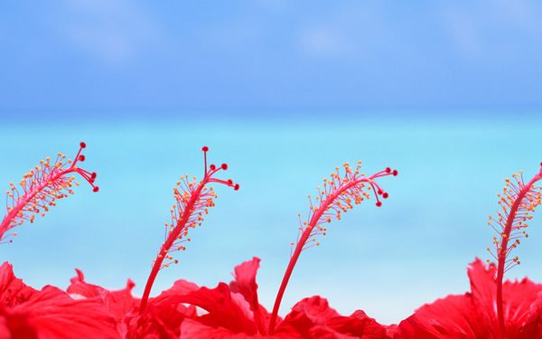 maldives-hibiscus-flowers-wallpapers 19921 1920x1200