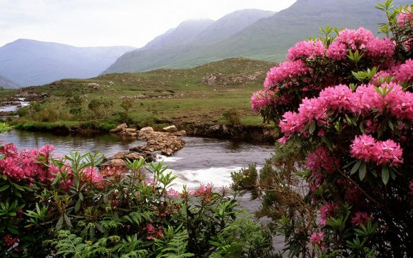 2-Rhododendrons_Bloom_Along_the_River_Bundorragha_Ireland.jpg