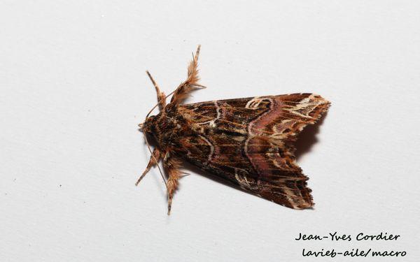 callopistria-juventina-noctuelle-fougere 7700cc