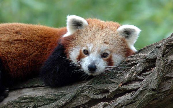 Panda_Roux.jpg