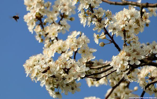 Prunellier et abeilles (8)