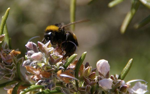 Premières abeilles sur romarin.jpg