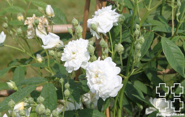 Le rosier 'La Dame du Lac'