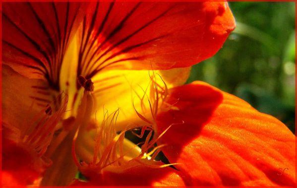 fleur jaune,orange,15