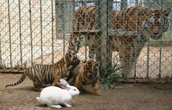 sem13sepe-Z5-Tigres-lapin-Chine.jpg