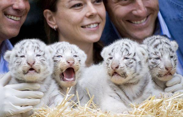 sem62-Z36-Tigres-blancs.jpg