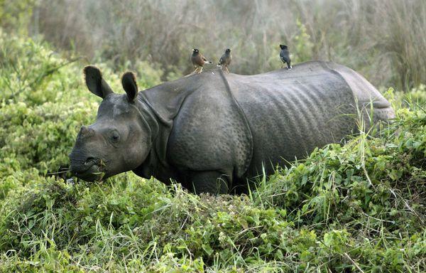 sem11ja-Z23-Rhinoceros-Nepal.jpg