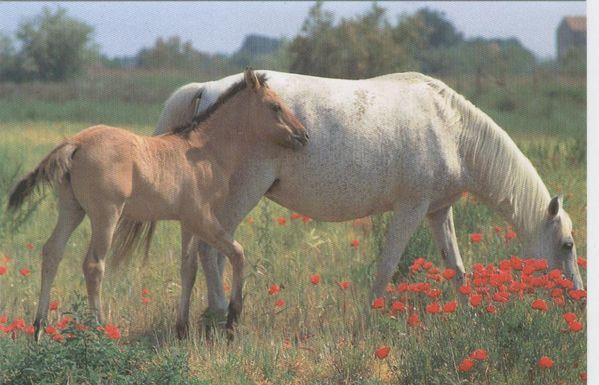 coquelicots-et-chevaux.jpg