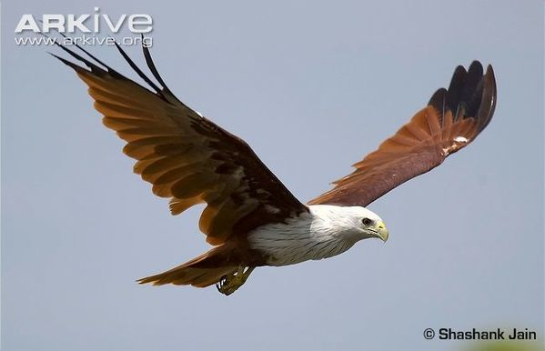 Adult-brahminy-kite-in-flight