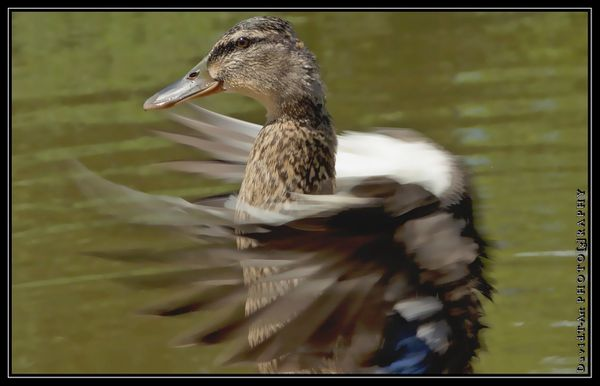 c comme..canard