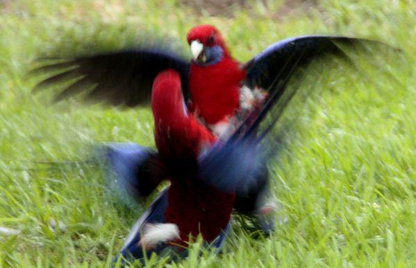 perroquets-bleu-rouge-Anglesea--27-.jpg