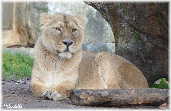 lion-d-asie-3.JPG