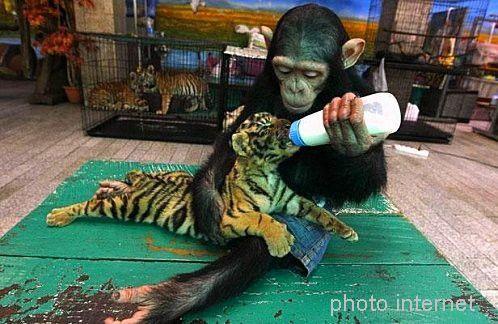 singe et tigre