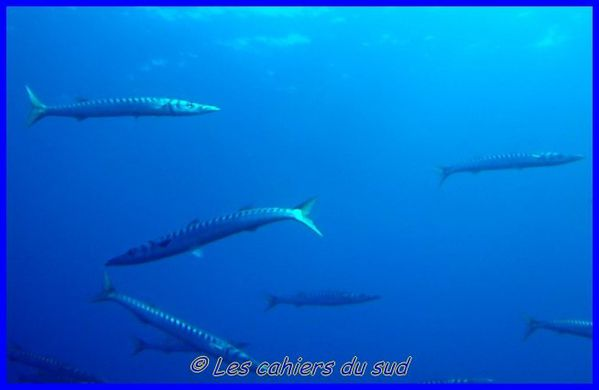 barracudas--640x480-.jpg