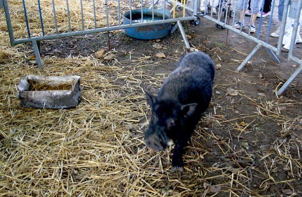Cochon-noir.jpg