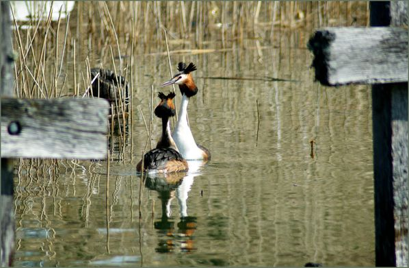 grebes-2-copie-2.jpg