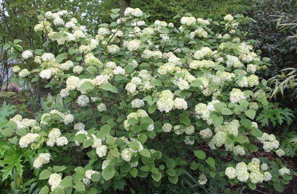 Viburnum-plicatum--rotundifolium-.jpg