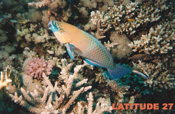 poisson perroquet 55