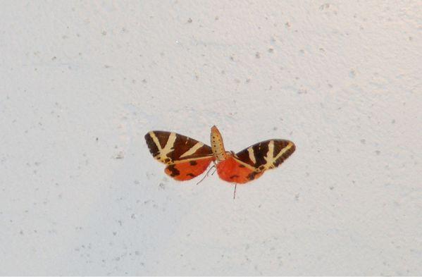 papillon nuit écaille chinée callimorphe Euplagia-copie-2