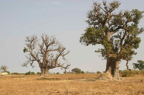 287 Des baobabs (pour l'age, diviser la circonférence par