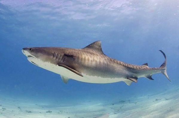 Tiger_shark-2-.jpg
