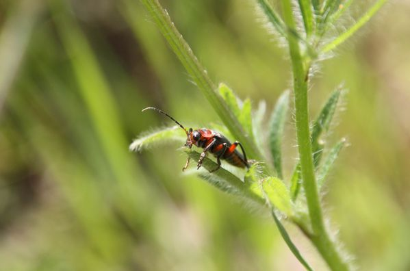 Animaux-4-6071-Cantharis-rustica-jpg
