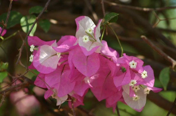 210-Bougainvillier-double-jpg