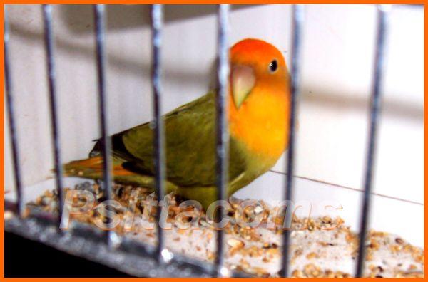 Roseicollis opaline vert olive masque orange 1