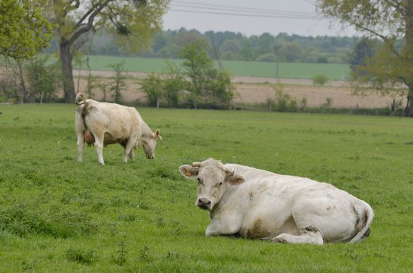 Berville vaches blanches