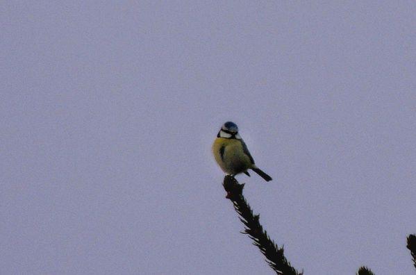 Oiseaux de nos jardins (3)