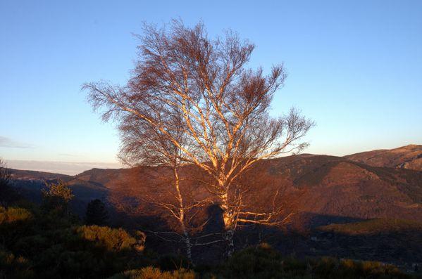 17012013-lever-soleil-sur-bouleauxc.jpg